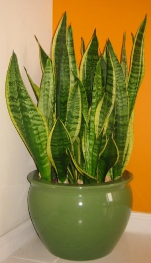 Snake-plant