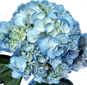 blue-hydrangea-painted