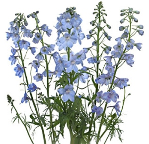 Delphinium-flower-light-blue