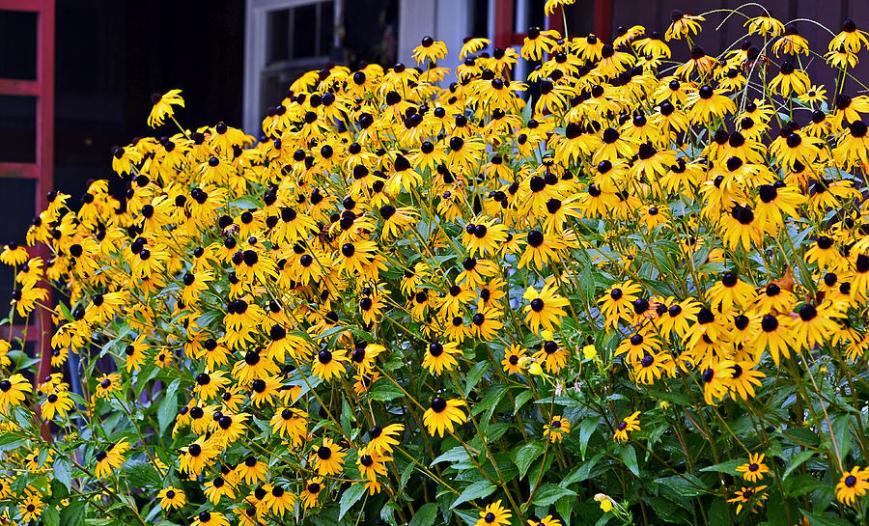 black-eyed-susan-flowers-susan-leggett