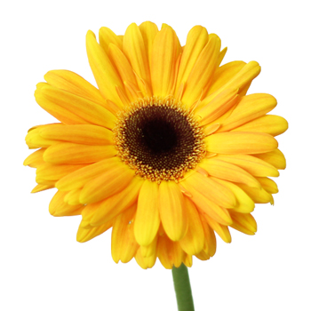 Gerbera-Sunglow-Head-350_7bde399d